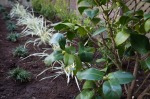 Nuccio's Gem camellia