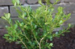 Boxwoods are hardy and grow like crazy in New Orleans