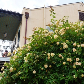 Talk About a Green Thumb!  Check Out This Massive French Quarter Rose Bush